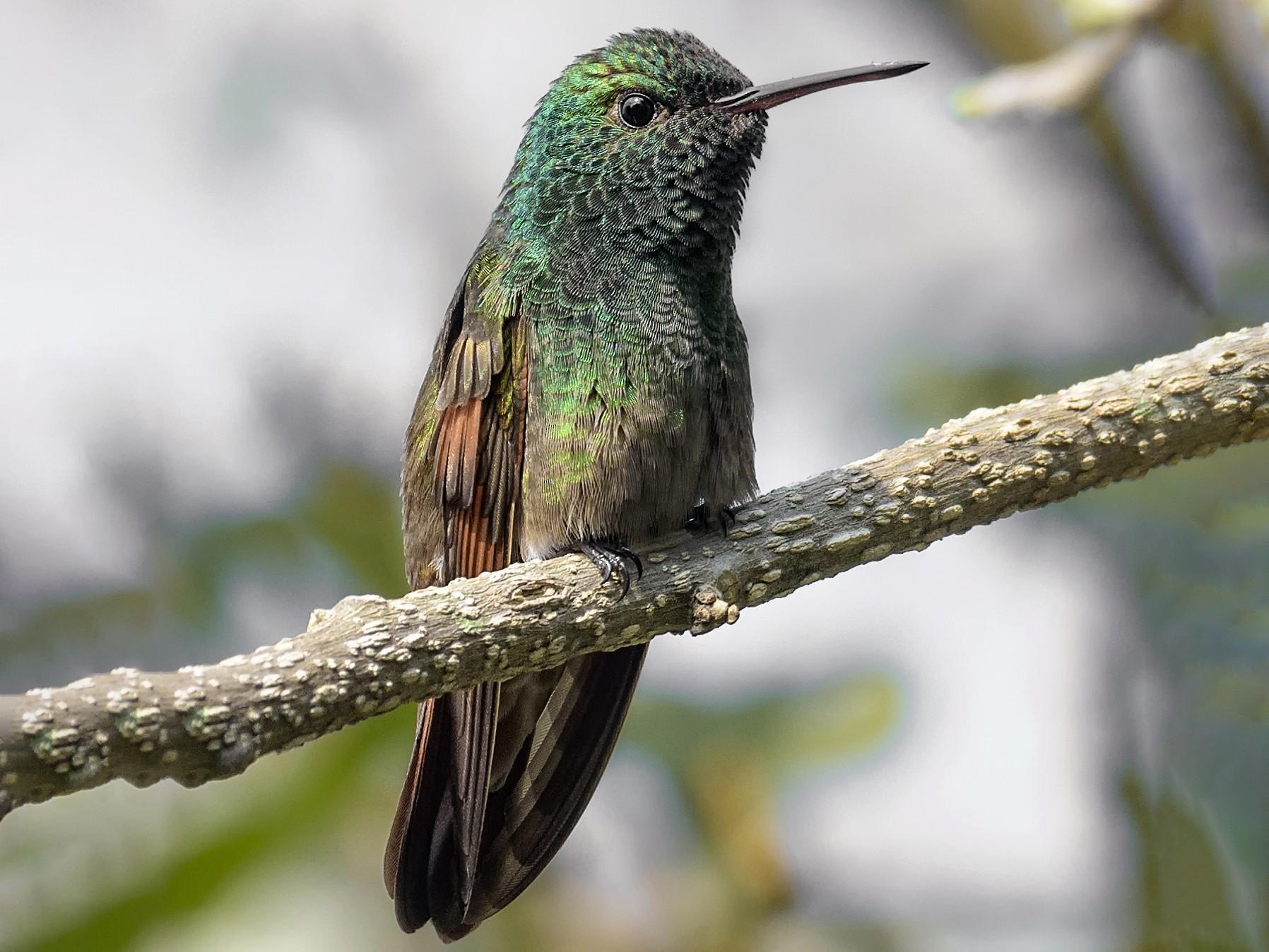 Berylline Hummingbird - Carlos García