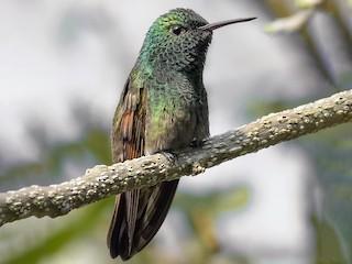 - Berylline Hummingbird