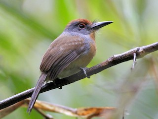 - Rufous-capped Nunlet