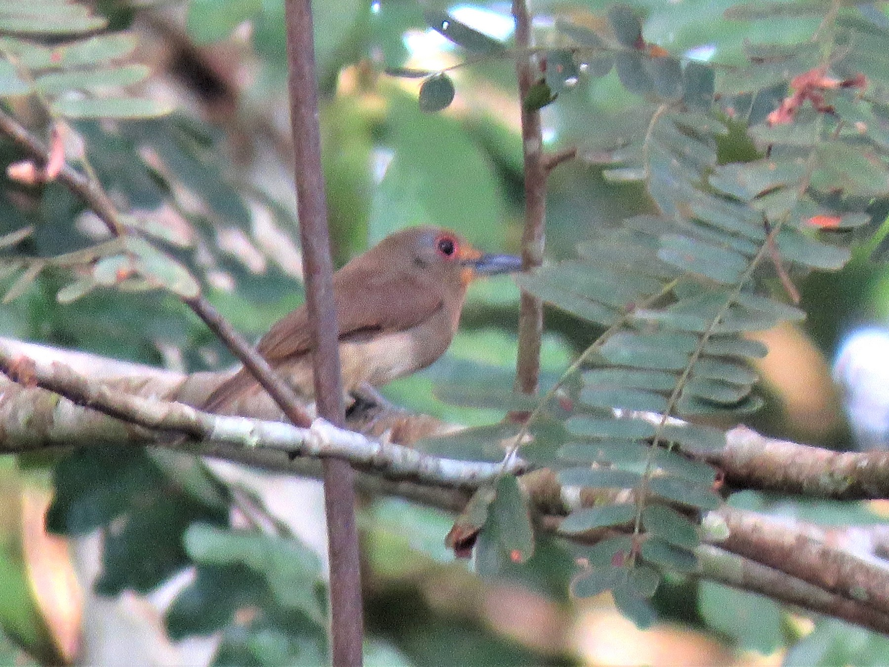 Fulvous-chinned Nunlet - Edi Chirinos