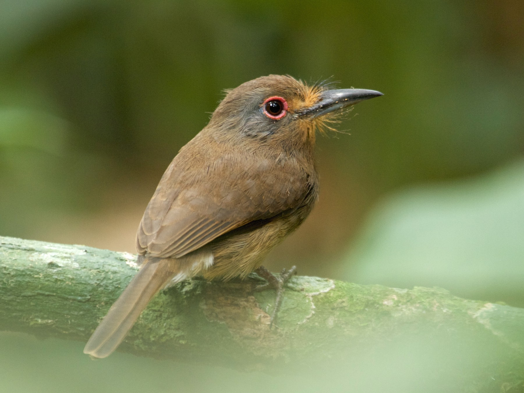 Fulvous-chinned Nunlet - Will Sweet