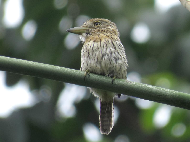 Western Striolated-Puffbird - Rita Souza