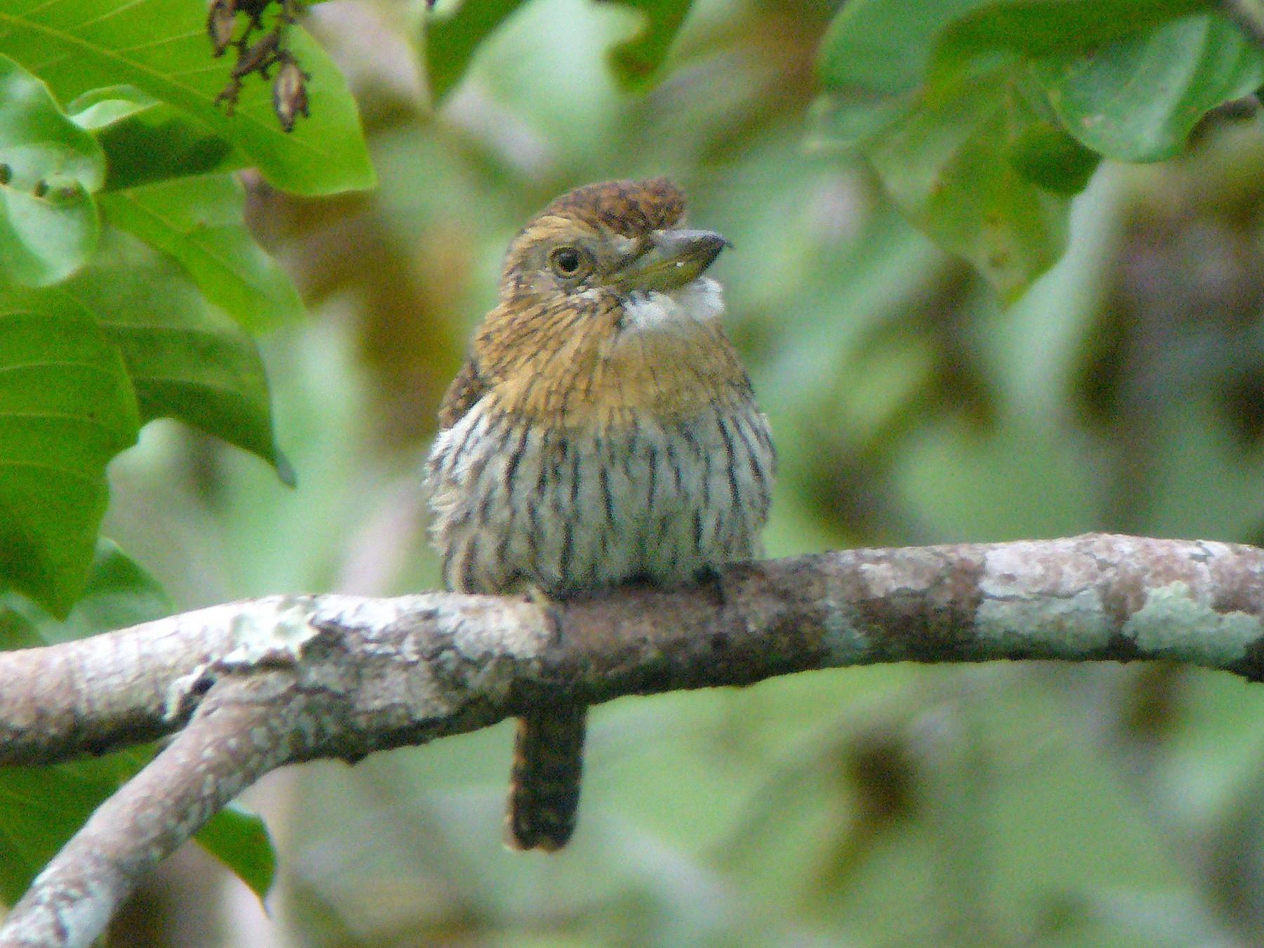 Western Striolated-Puffbird - Paul Suchanek