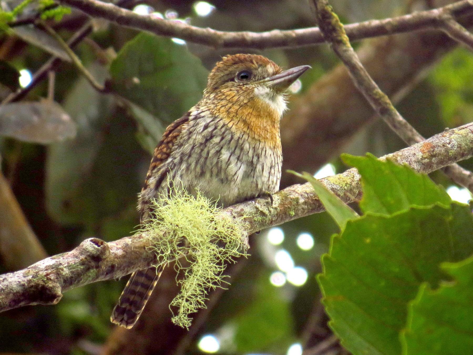 Western Striolated-Puffbird - Jorge Muñoz García   CAQUETA BIRDING
