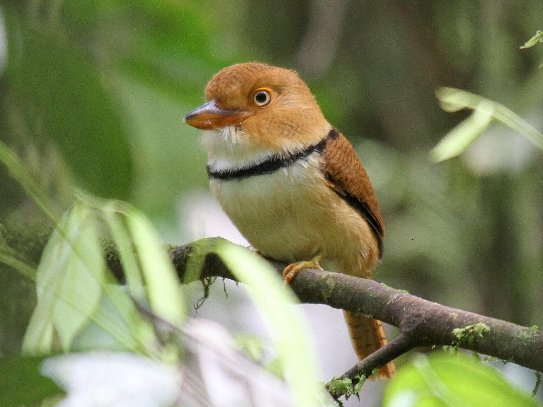 Collared Puffbird - Ron Furnish