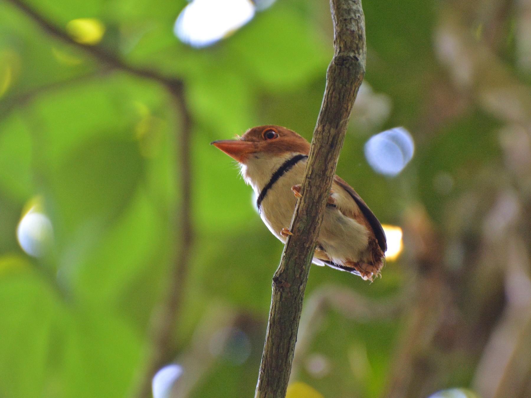 Collared Puffbird - Henry Cook