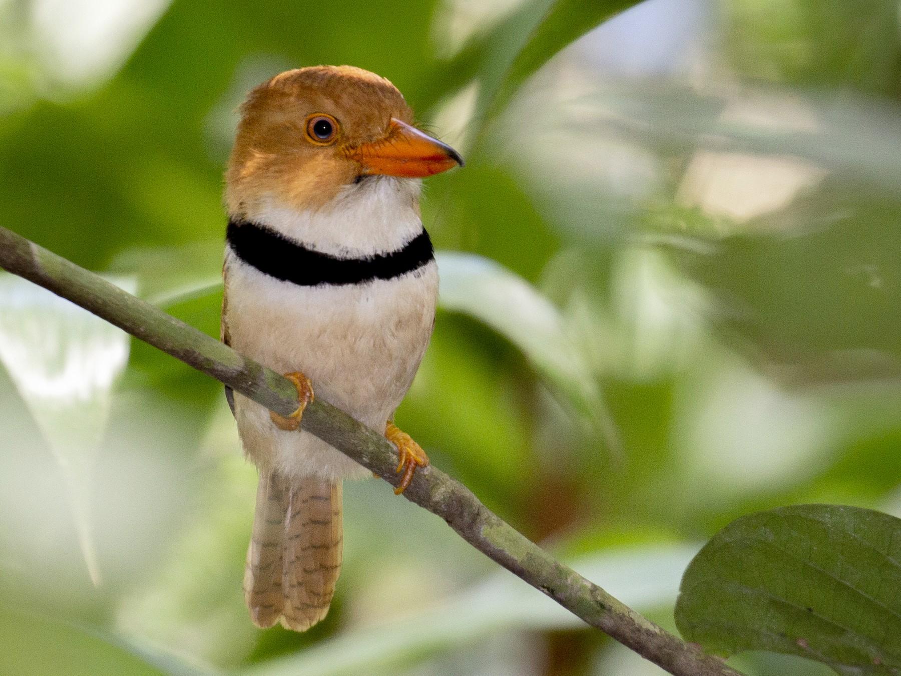 Collared Puffbird - Alec Hopping