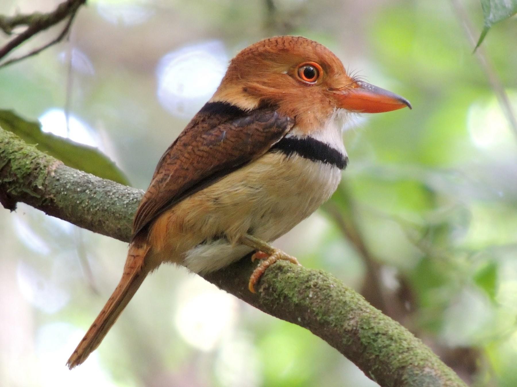 Collared Puffbird - Rick Robinson