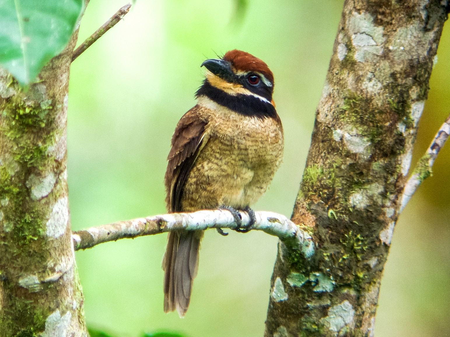 Chestnut-capped Puffbird - Nick Athanas