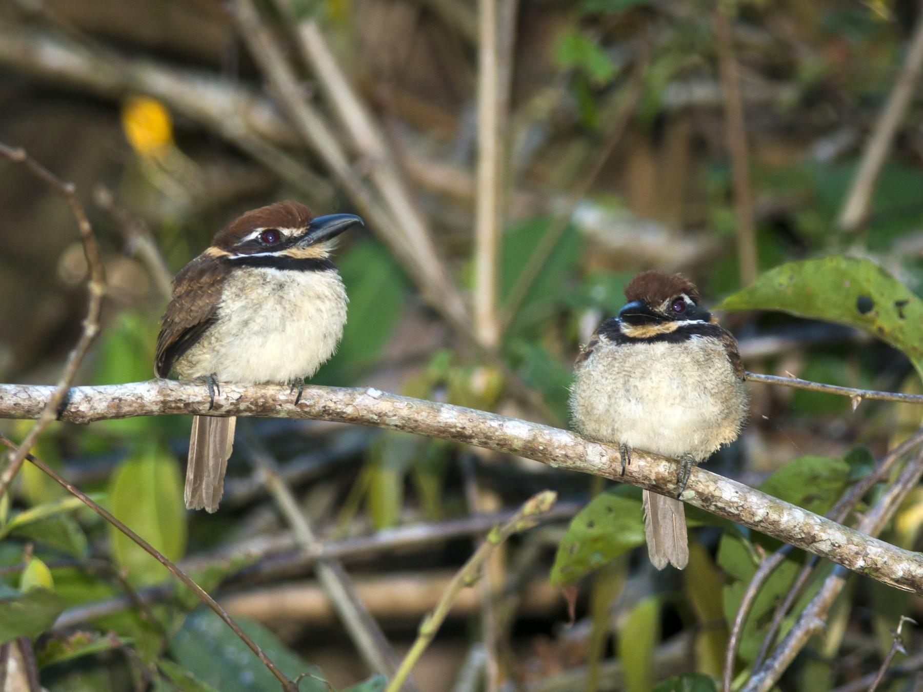 Chestnut-capped Puffbird - Claudia Brasileiro