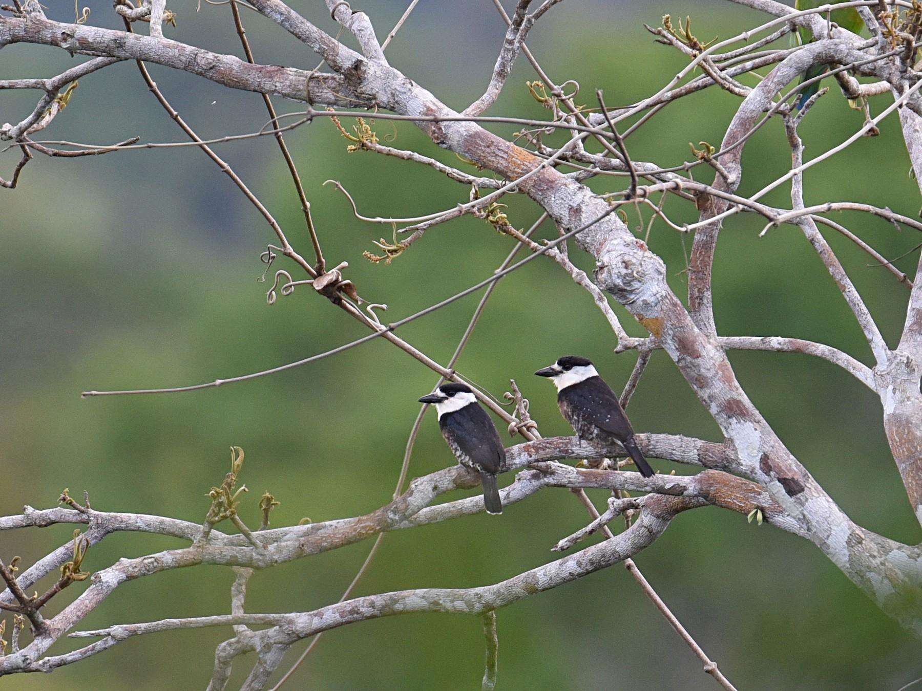 Brown-banded Puffbird - Shailesh Pinto