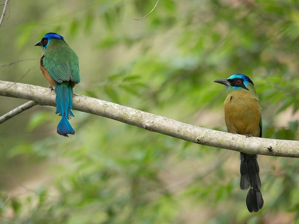Amazonian Motmot - LUCIANO BERNARDES