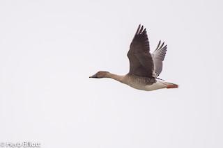 Tundra Bean-Goose, ML164729091