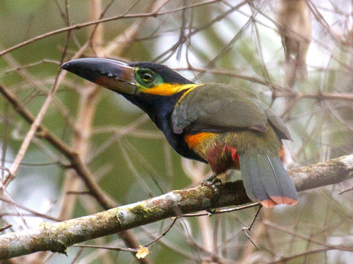 Golden-collared Toucanet - Will Chatfield-Taylor