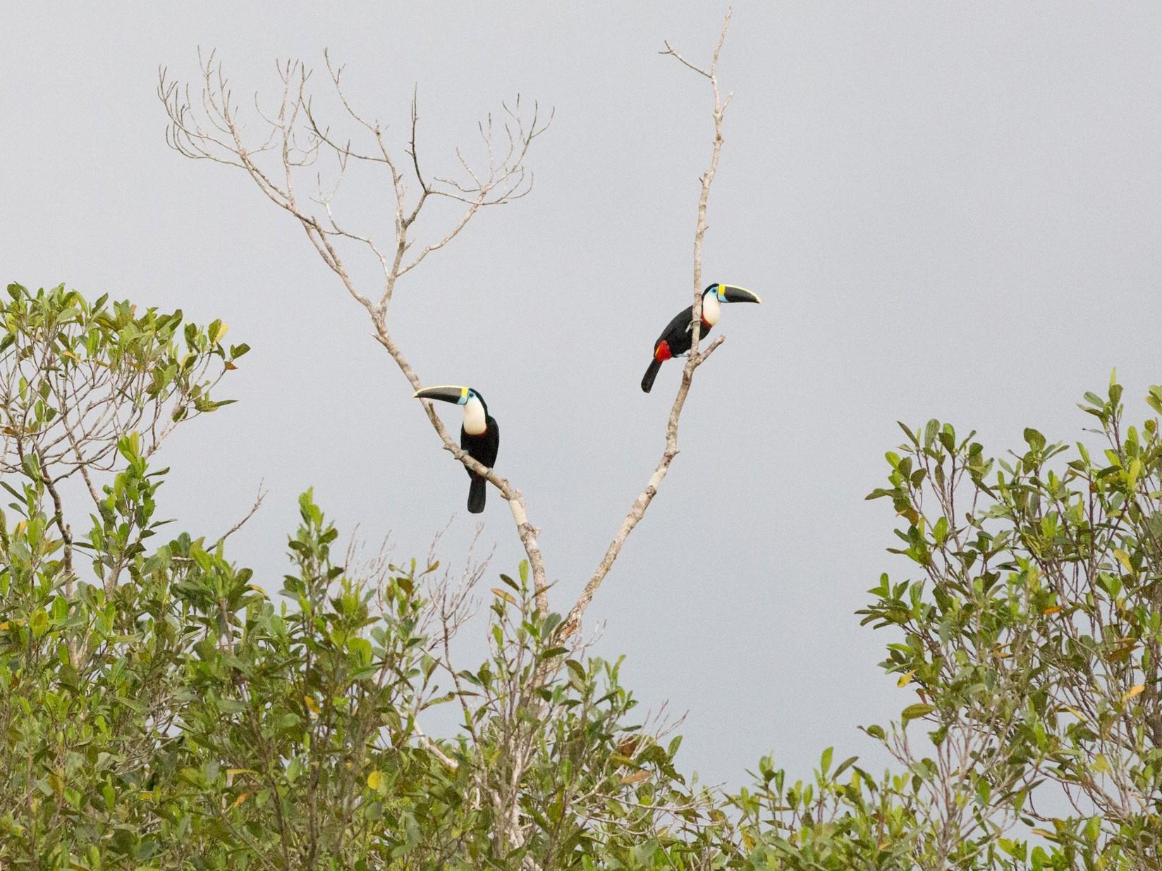 White-throated Toucan - Darren Clark