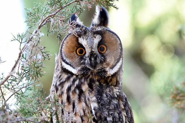Long-eared Owl ML164774001