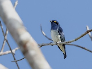 - White-bellied Dacnis