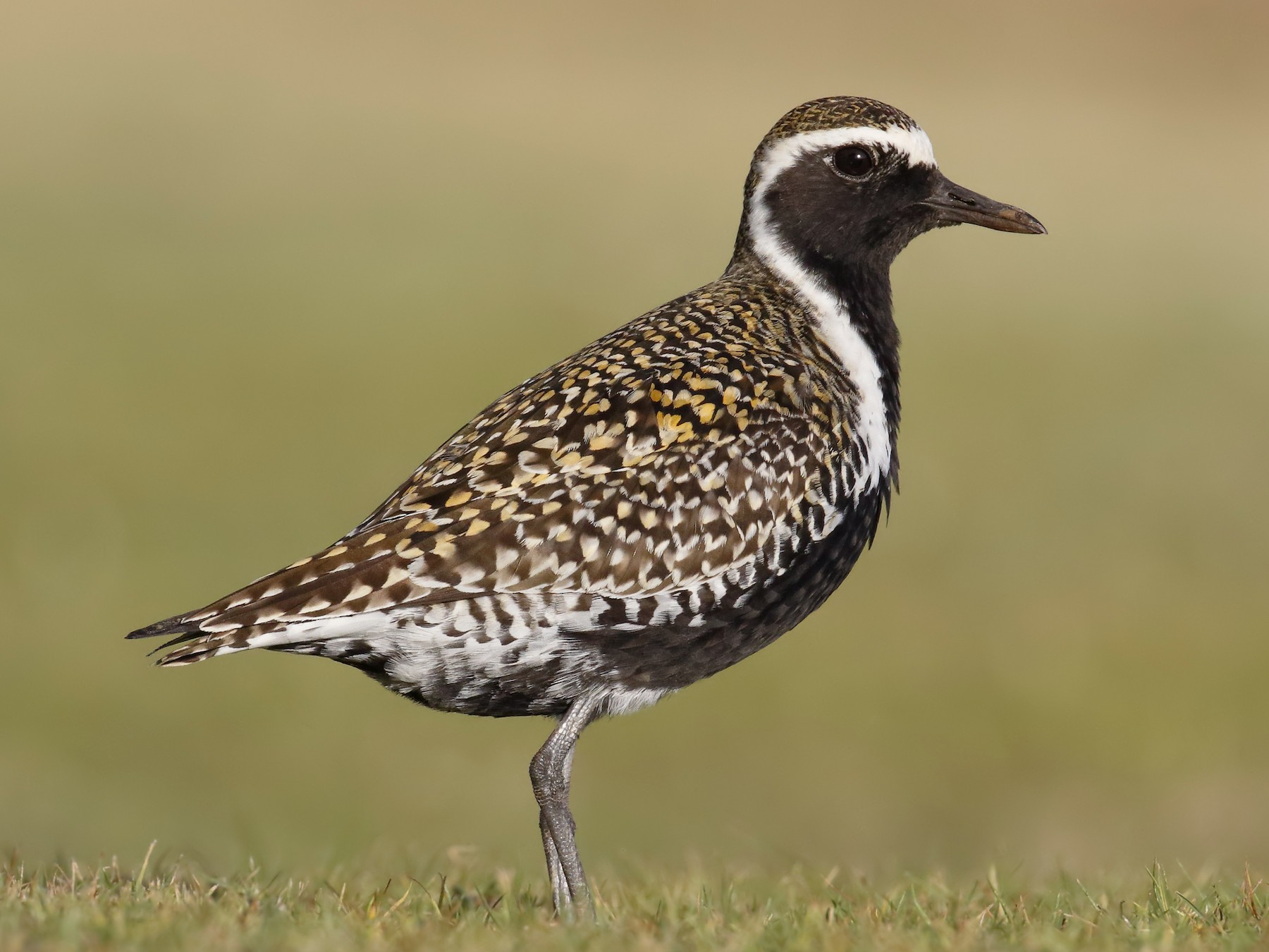 Pacific Golden-Plover - Sharif Uddin