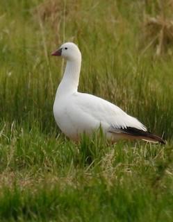 Ross's Goose, ML164805671