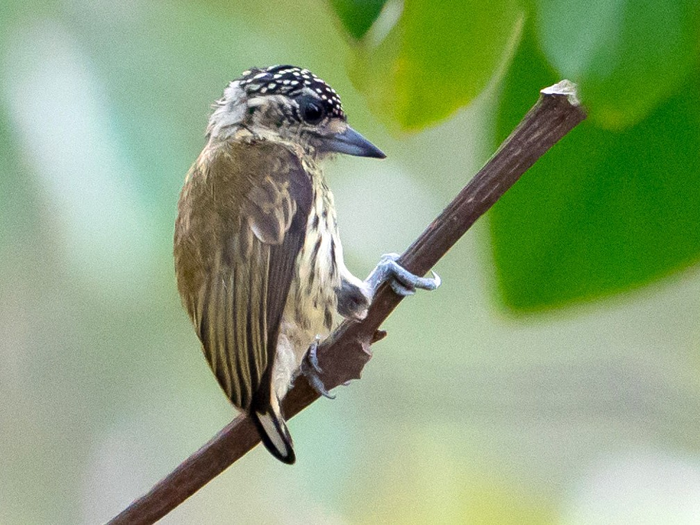 Bar-breasted Piculet - Joao Quental JQuental