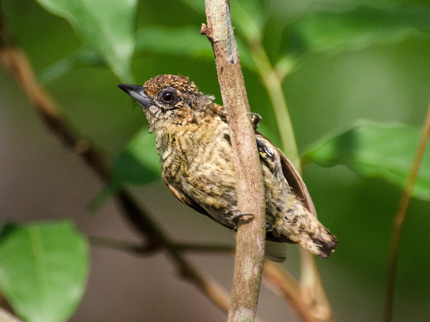 Bar-breasted Piculet - Marcos  Eugênio Birding Guide