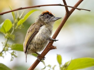- Fine-barred Piculet