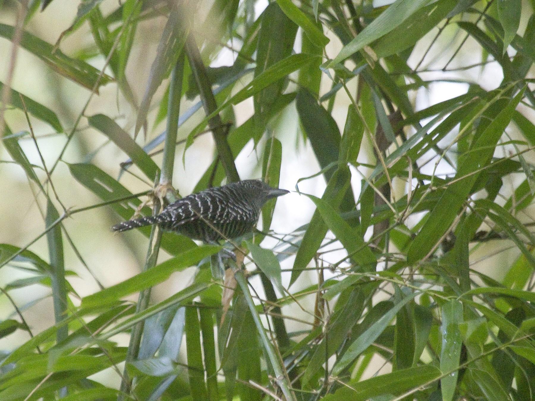 Bamboo Antshrike - Gordon Dimmig