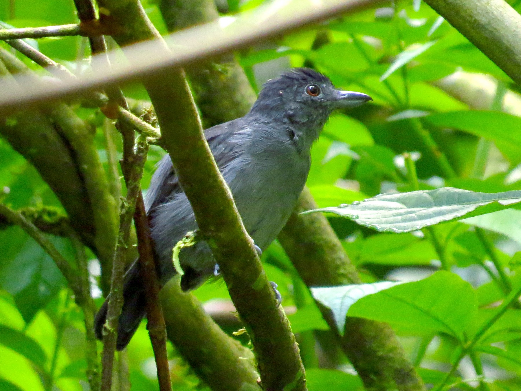 Plain-winged Antshrike - Jorge Muñoz García   CAQUETA BIRDING