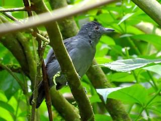- Plain-winged Antshrike