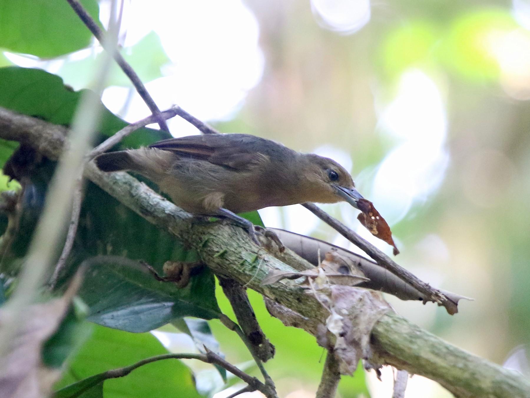 Plain-winged Antshrike - Thompson Ian