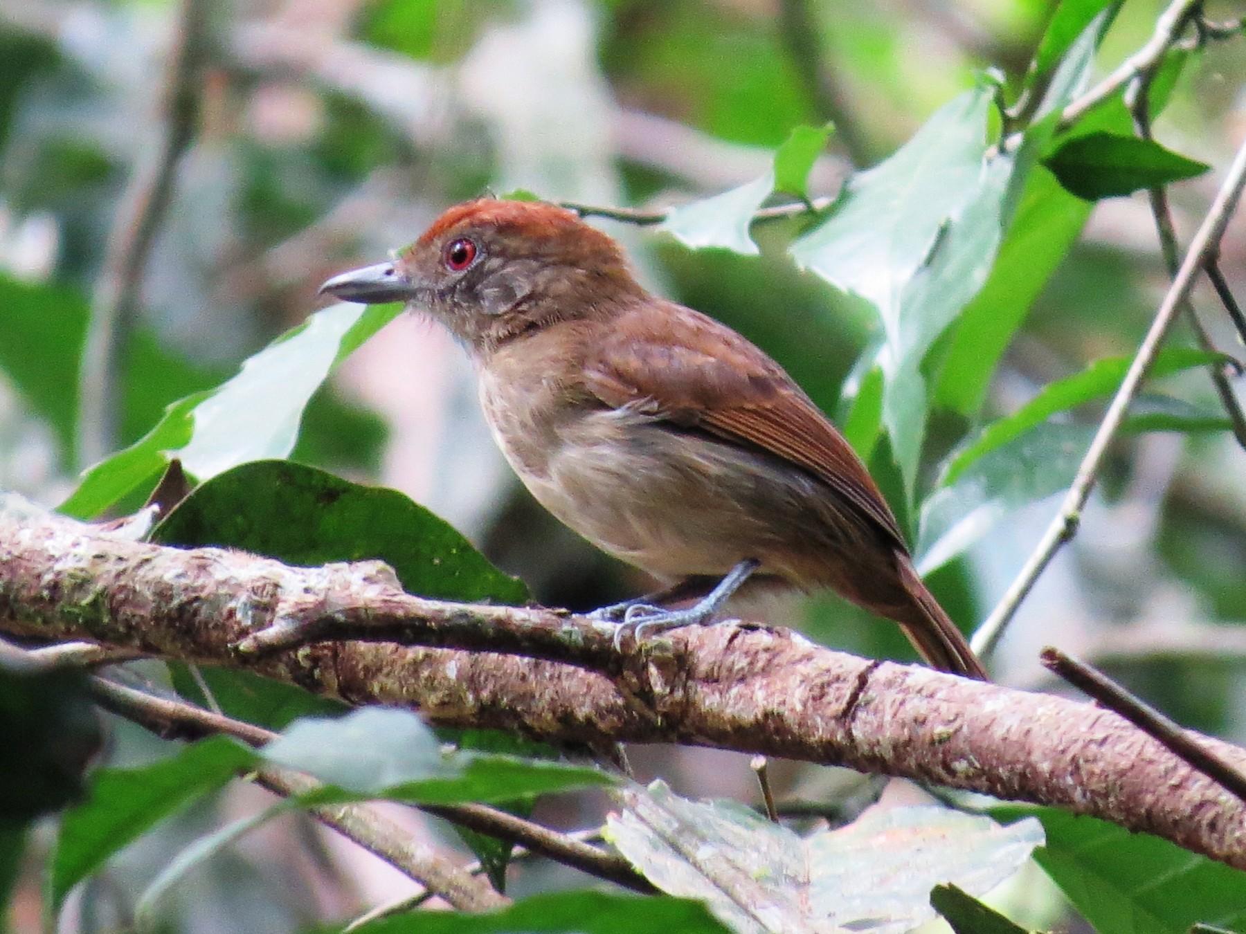 Plain-winged Antshrike - Elder Gomes Silva