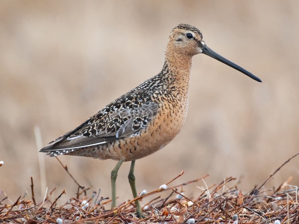 Long-billed Dowitcher - Tyler Ficker