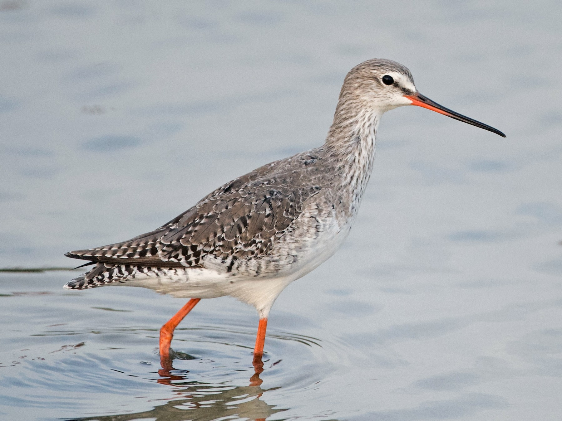 Spotted Redshank - Ian Davies