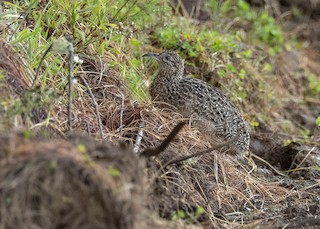 Curve-billed Tinamou