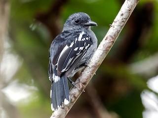 - Amazonian Antshrike