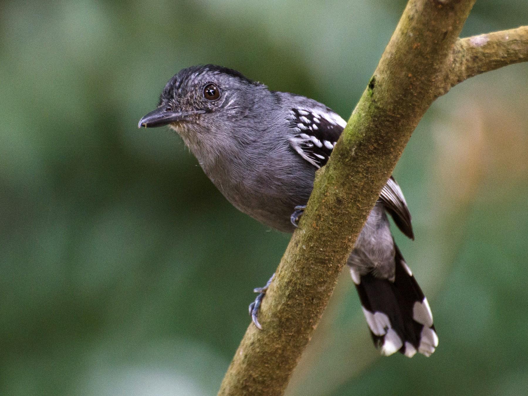 Amazonian Antshrike - Marcos  Eugênio Birding Guide