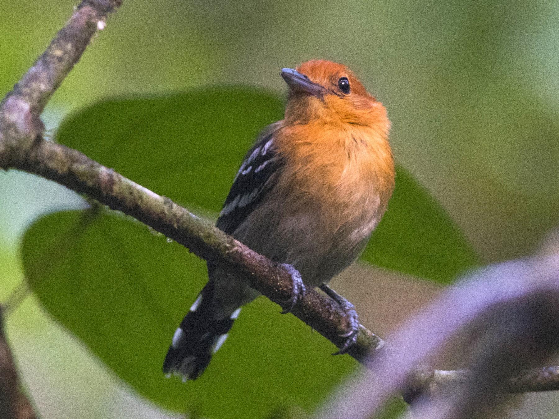 Amazonian Antshrike - John Cahill xikanel.com