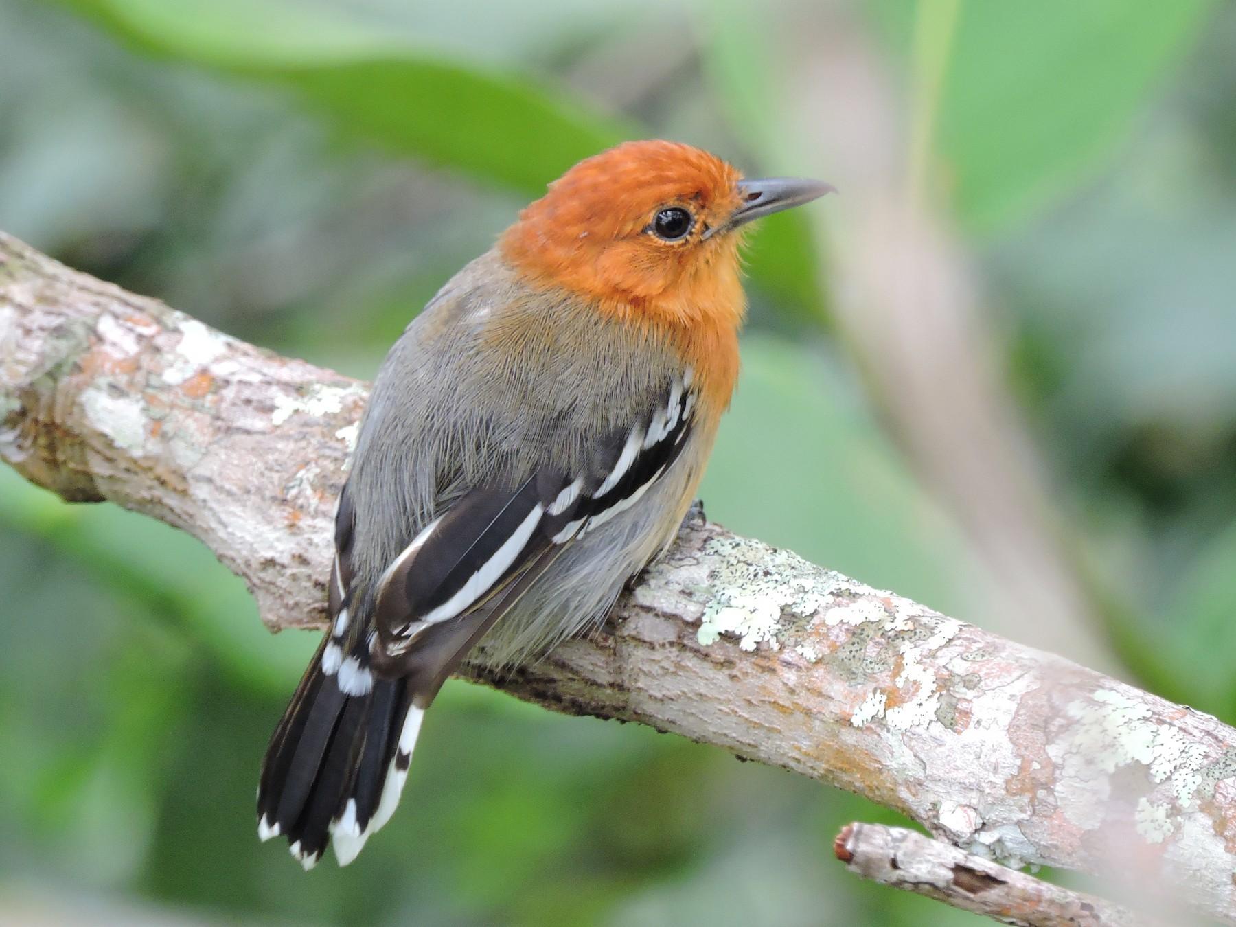 Amazonian Antshrike - Edwin Munera