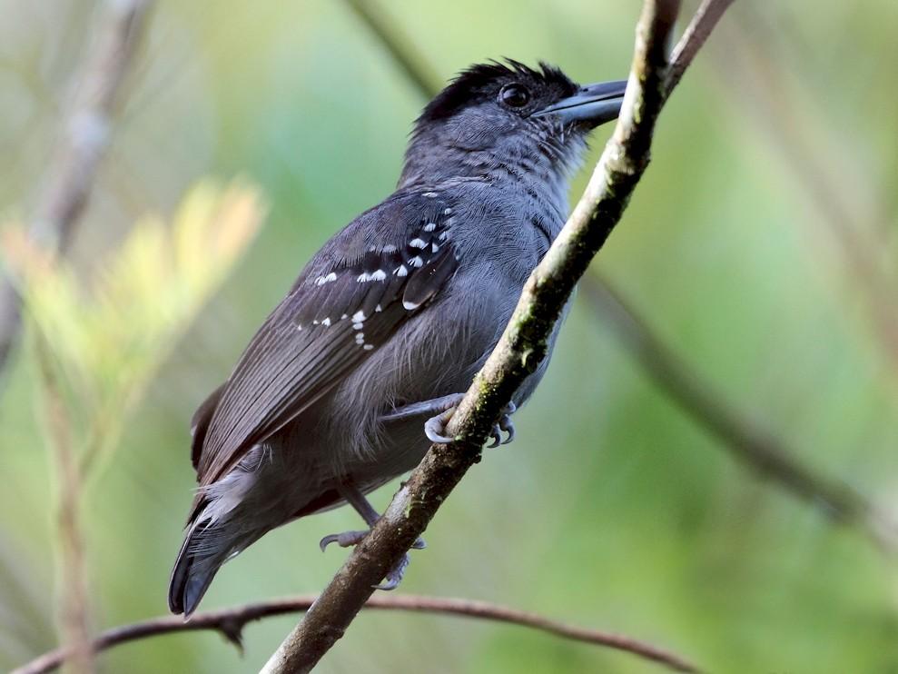Spot-winged Antshrike - Lorenzo Calcaño