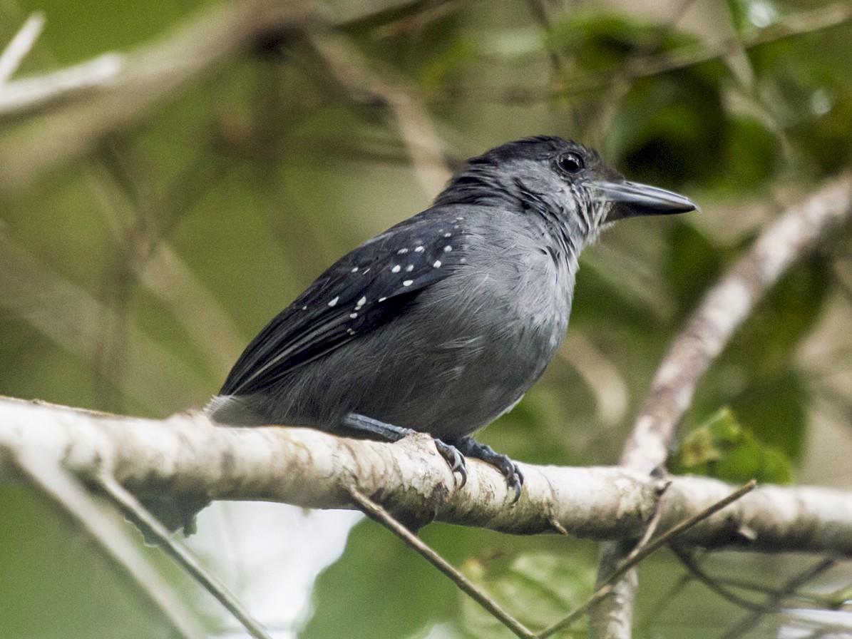 Spot-winged Antshrike - Nick Athanas