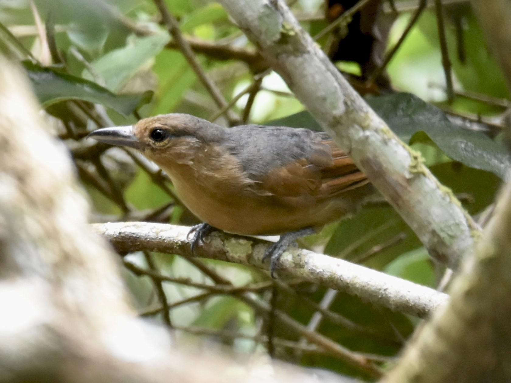 Spot-winged Antshrike - T I