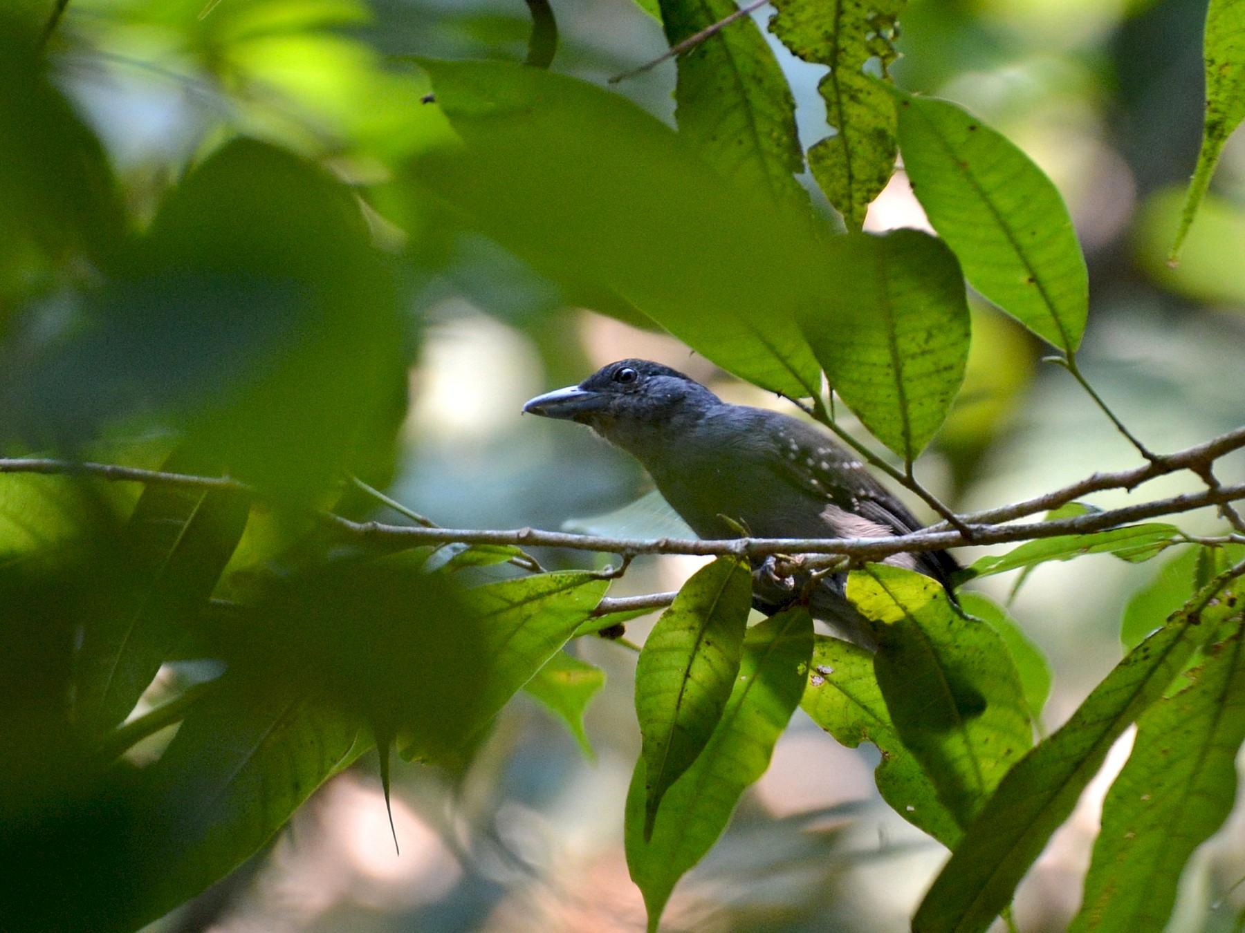 Spot-winged Antshrike - Henry Cook
