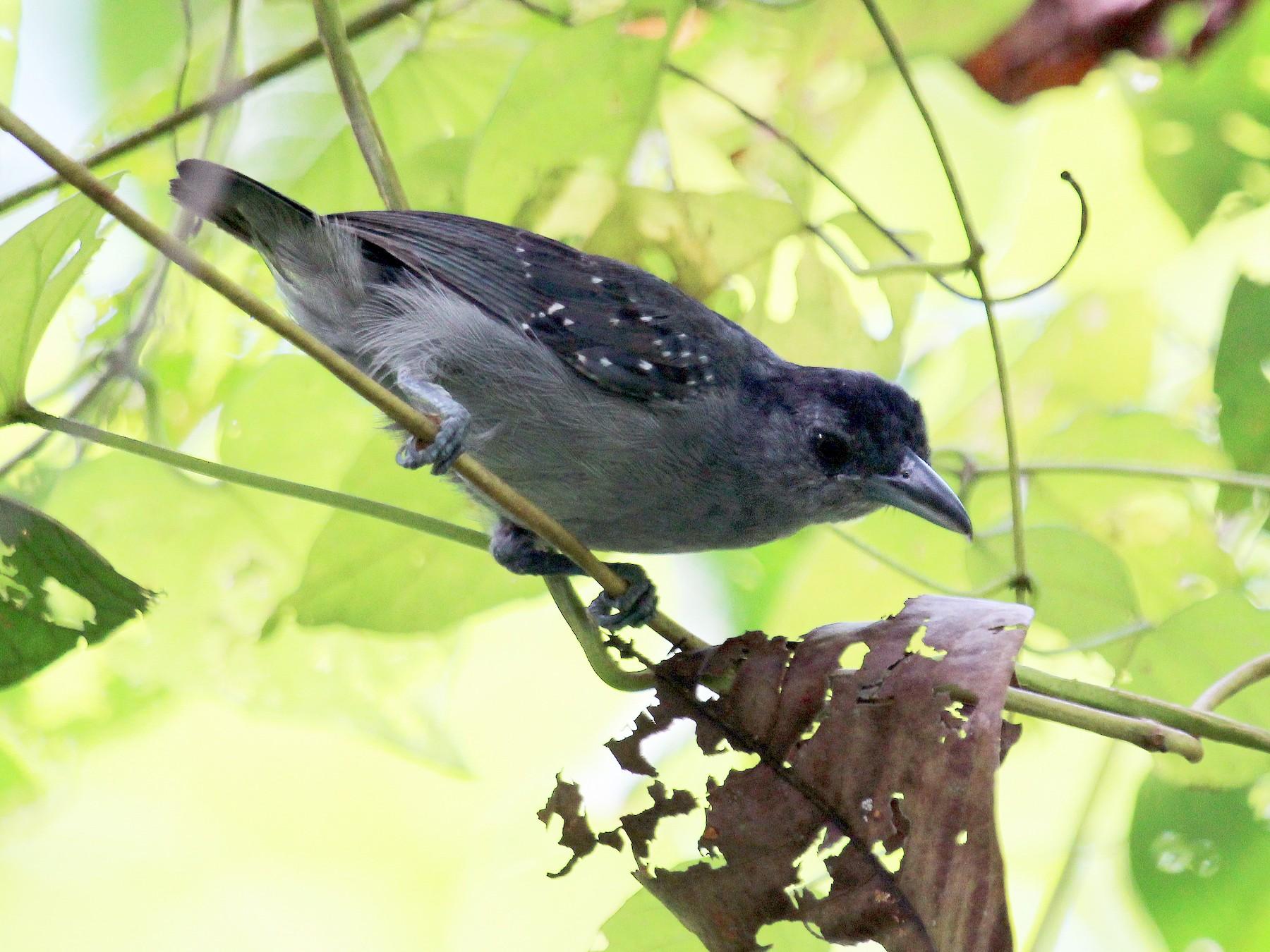 Spot-winged Antshrike - Alexander Lees