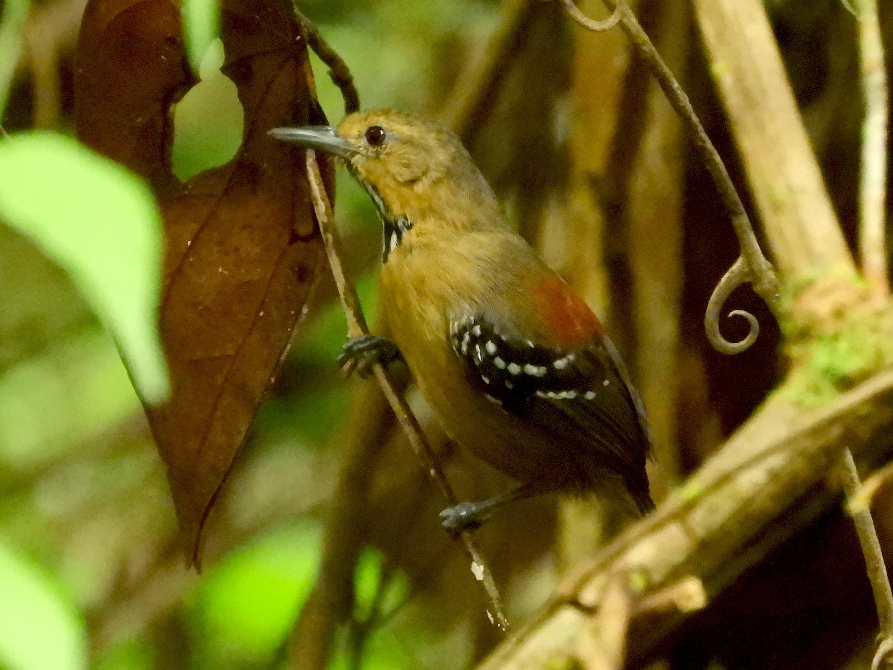 Ornate Stipplethroat - Jorge Muñoz García   CAQUETA BIRDING