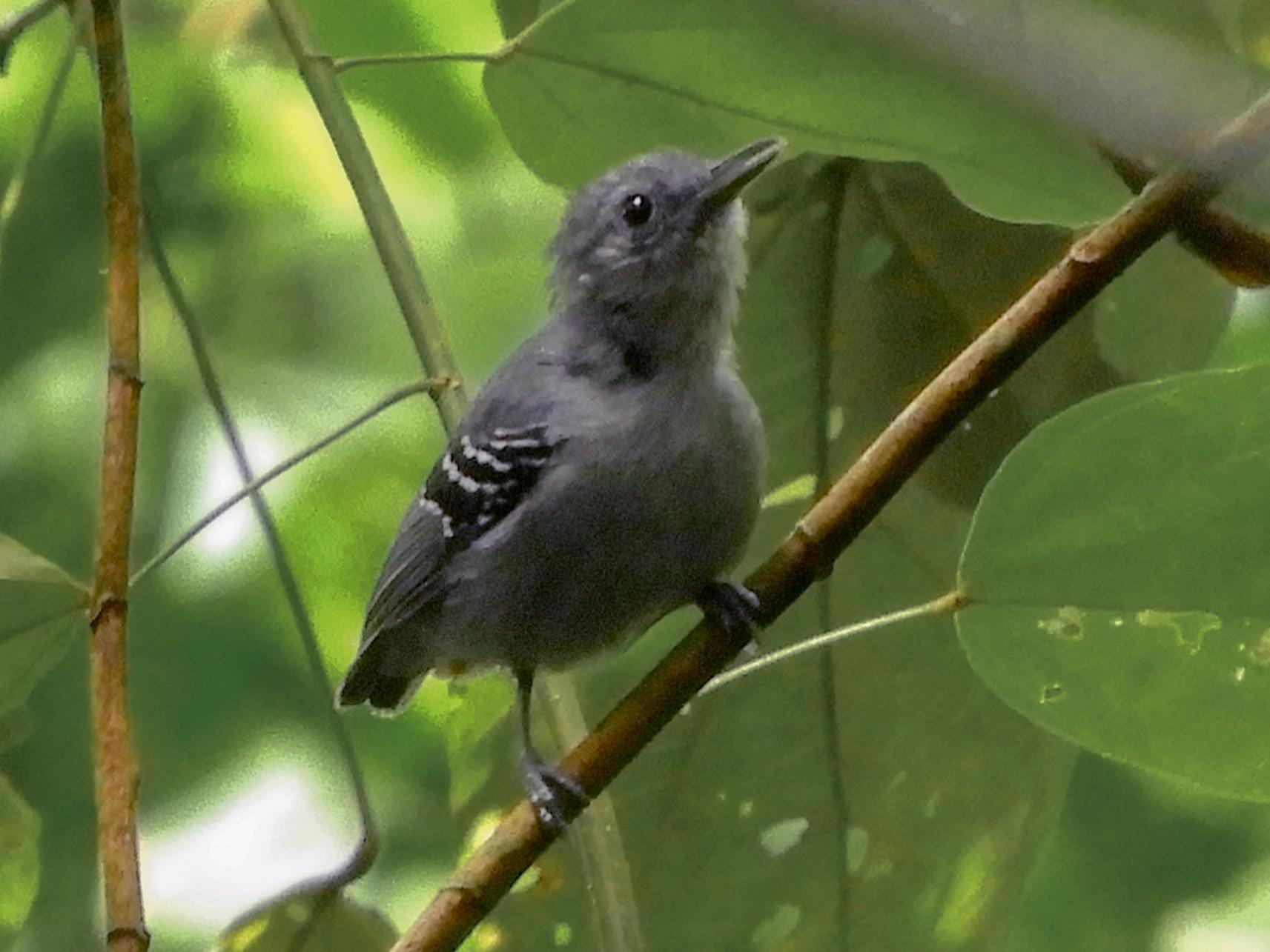 Gray Antwren - Jorge Muñoz García   CAQUETA BIRDING