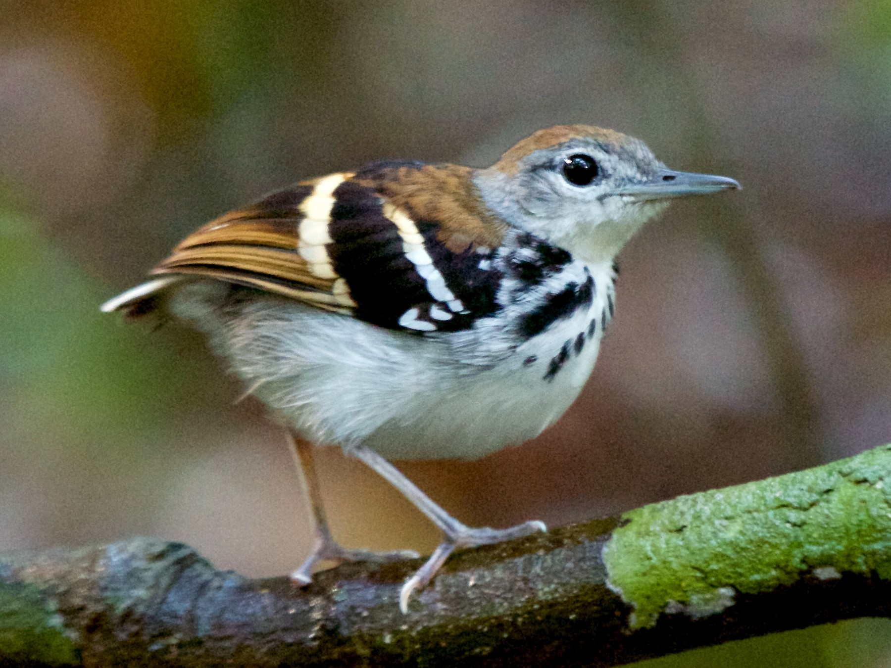 Banded Antbird - Will Sweet