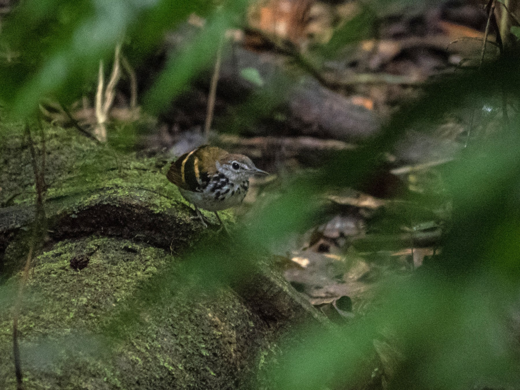 Banded Antbird - James Moore