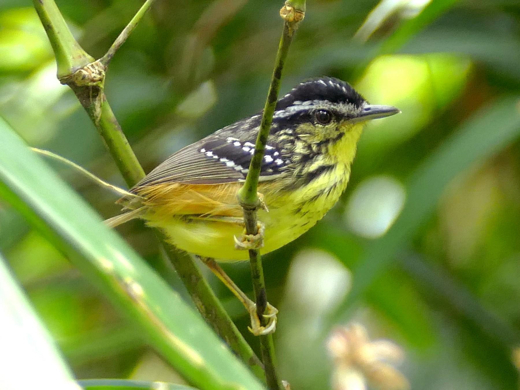 Yellow-breasted Warbling-Antbird - Peter Kaestner