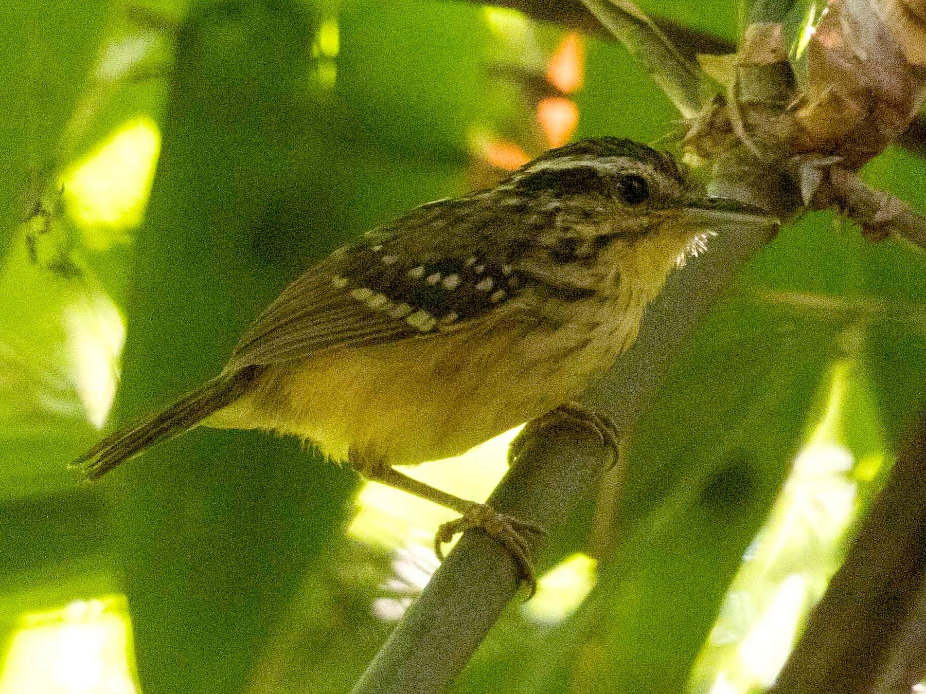 Yellow-breasted Warbling-Antbird - Eric VanderWerf