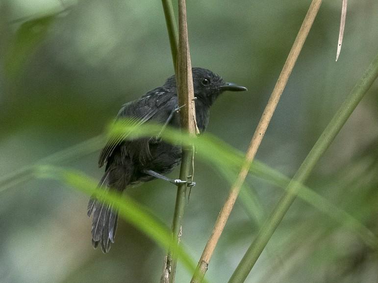 Black Antbird - Silvia Faustino Linhares